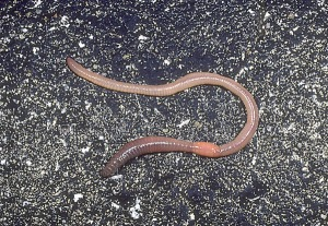 Earthworm entomology.osu.edu