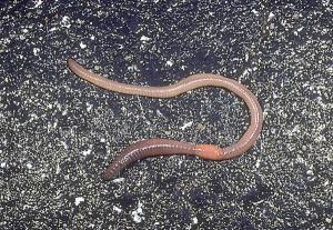 Earthworm entomology.osu.edu