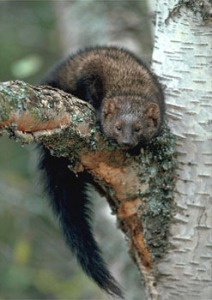 Fisher Cat, animaldiversity.org.