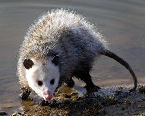 Opossum, msu.edu