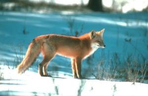 Red Fox, fcps.edu
