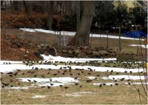 Starlings feeding on cutworms in a lawn