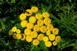 Tansy in full bloom in the wild