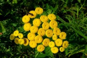 Tansy in full bloom in the wild