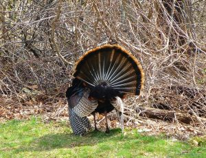 Turkey Fan, photo by Pamm Cooper