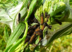 Baltimore Checkerspot butterfly caterpillars survive winter living together in a tent of leaves