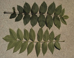 black walnut leaf, hort.uconn.edu
