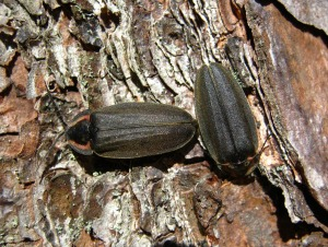Lightning bugs (beetles) on the sunny side of a tree trunk in January 2012