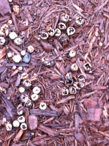 Bird's nest fungi growing in wood mulch. J. Allen photo.