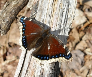 Mourning Cloak Butterfly- out on a sunny winter day 2012