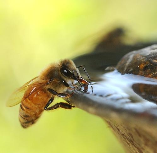 Bee drinking, ucanr.edu