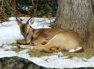 Same deer cleaning its feet