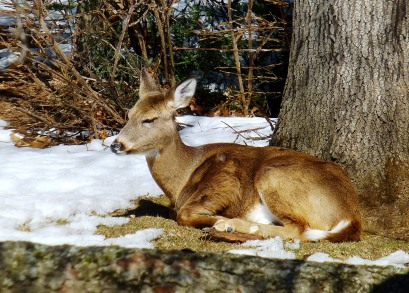 Deer napping in the sun in my backyard