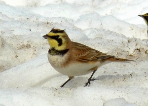 Horned Lark at Meig's Point March 13, 2015