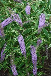Summer Skies variegated butterfly bush. Photo by Mark Brand, UConn