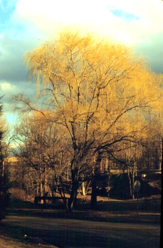 white willow in bloom, hort.uconn.edu