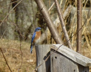 Male Bluebird on this year's selected nesting box