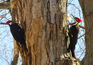 Male and female Pileated Woodpeckers in my backyard woods