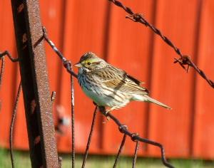 Savannah Sparrow on Horsebarn Hill, Storrs April 28, 2015