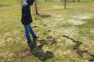 vole-and-snow-mold-damage-april-6-2015.jpg