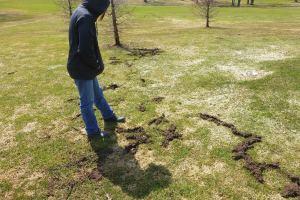vole-and-snow-mold-damage-april-6-2015.jpg