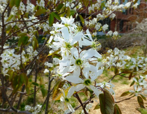 amelanchier flowers Pamm's photo