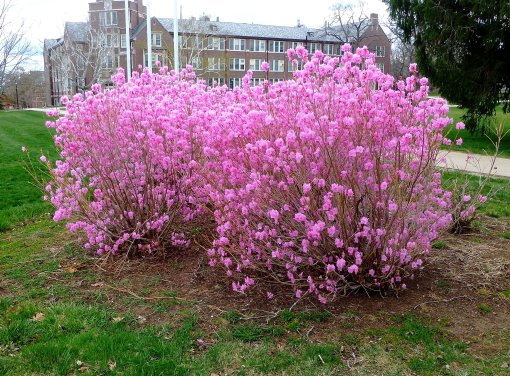 Cornell Pink Azalea, Rhododendron mucronulatum, Pamm Cooper photo