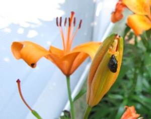 Lily Leaf Beetle Larva, Donna Ellis, UConn