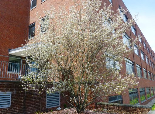 Amelanchier canandensis, aka Shadblow. Photo by Pamm Cooper