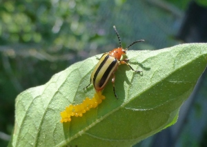 3-lined potato beetle laying eggs on nightshade June 3, 2015