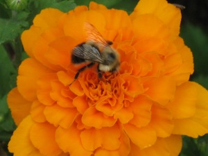 Bumble bee on marigold by dmp