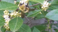 "Bumble bees are frequent visitors to winterberry holly flowers, and their pollination services are essential for female plants to produce their fruit ""crop"". Susan Pelton photo from https://uconnladybug.wordpress.com/2015/06/23/little-flowers-can-have-a-big-impact/"