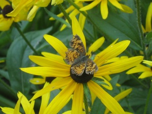 Butterfly on rudbeckia by dmp