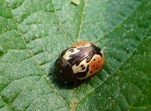 Viburnum calligrapha beetle