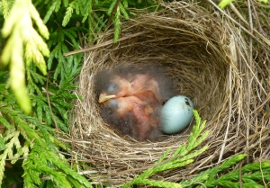Chipping sparrows just hatched Late May