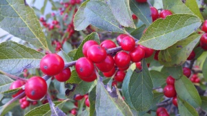 Female Winterberry Drupes