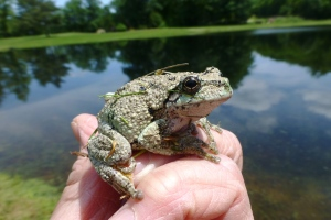 gray tree frog saved from the mower June 3 2015