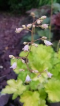 Heuchera Flower Close-up