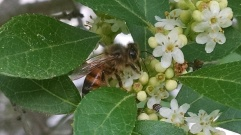 Honeybee on the Male Winterberry