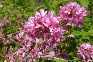 Pinxterflower Native Azalea blooming in late May in Northern Connecticut