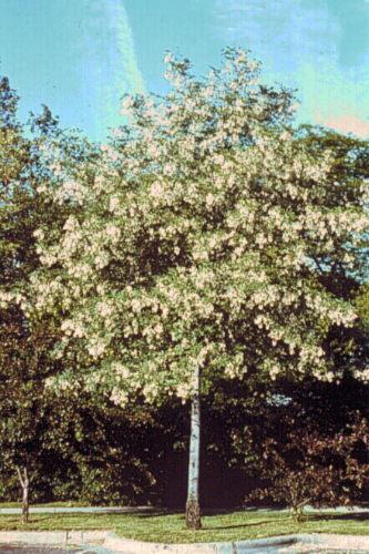 UConn Plant Database photo of young yellowwood tree.