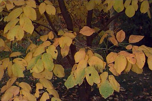 Fall color, UConn Plant database photo