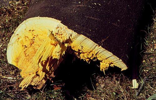 Yellowwood wood, UConn plant database