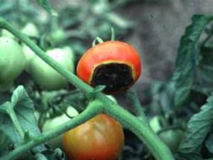 Blossom end rot on tomato, ohioline.osu.edu