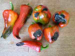 Blossom end rot on peppers, photo taken by client