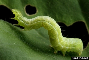 Cabbage looper larva (Trichoplusia ni) and feeding damage. David Cappaert, Michigan State University, www.insectimages.org