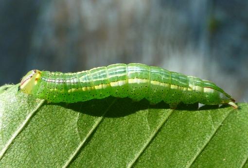 Heterocampa ssp. caterpillar