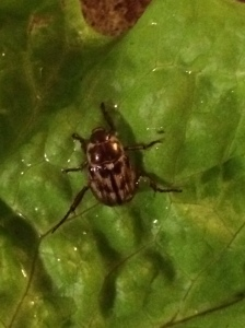 Adult Oriental beetle on lettuce.  J. Allen photo.
