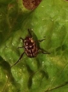 Adult Oriental beetle on lettuce.  J. Allen photo.