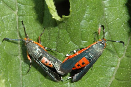 Squash vine borer adults, Jeff Hahn photo, UMN.edu